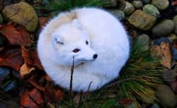 عکس زیبا از روباه سفید