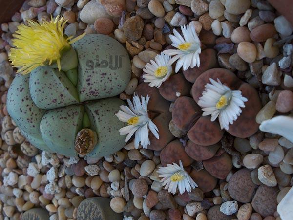 گل های سنگی