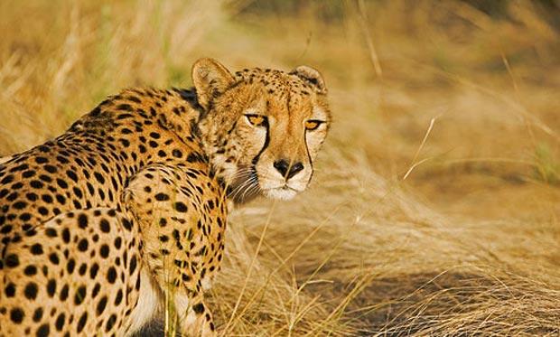 چیتا cheetah
