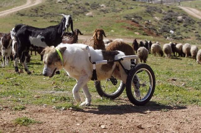 عکس جالب از سگ ويلچری نگهبان گله