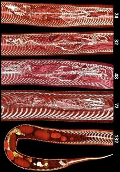 تصاویری از مراحل هضم موش در بدن مار