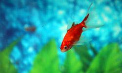 شرایط خرید و نگهداری ماهی قرمز