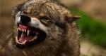 عکس های زیبا از گرگ ها
