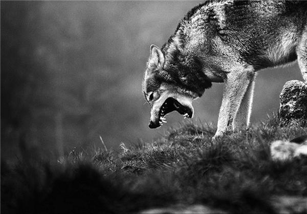 عکس گرگ