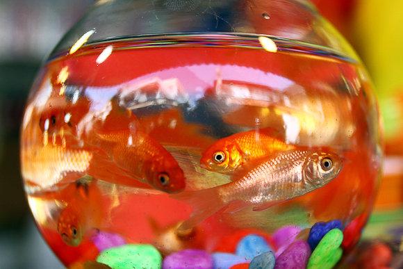 ماهی قرمز در تنگ