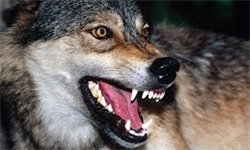 wolf - کشنده ترین حیوانات جهان - لیست 15 حیوان مرگبار و خطرناک دنیا