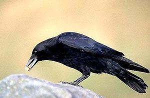 Crow,تحقیق درباره کلاغ