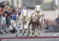 مسابقه گوسفند سواری در اسکاتلند+عکس