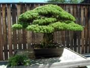 درختی که با انفجار اتمی هم نابود نشد + عکس