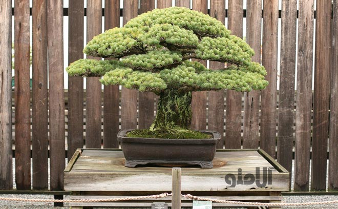 bonsai-tree2