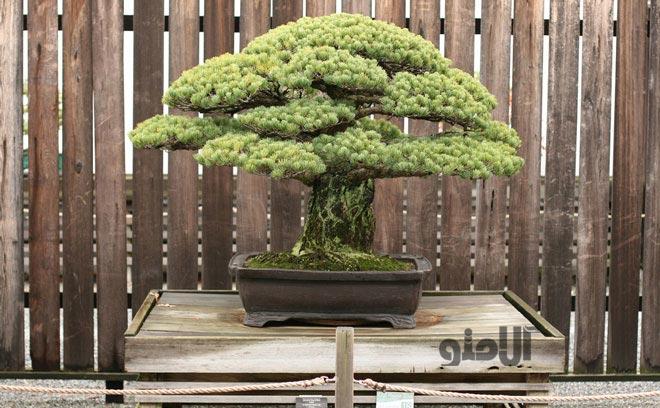 عکس بونسای ژاپنی