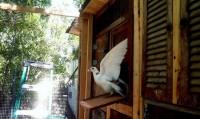 کبوترهای عجیب قاچاقچی + تصاویر