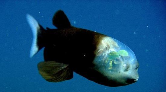 ماهی عجیب کله شیشه ای + عکس