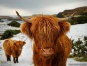 گاوی با موهای بلند + عکس