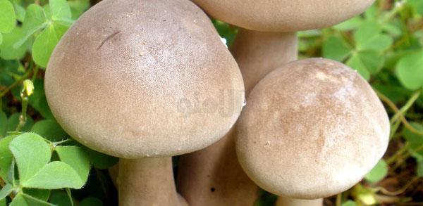 خواص انرژی زای قارچ, خواص Mushrooms