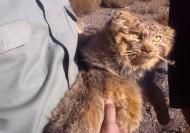 گربه پالاس پس از مدتها در چنگال شکارچیان پیدا شد