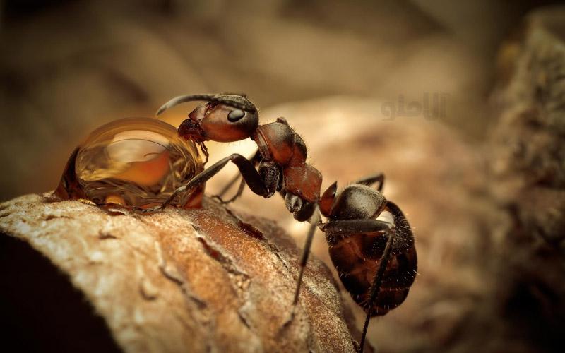 لحظه آبخوردن مورچهها / عکس