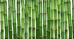 ۶ توصیه مهم برای نگهداری گیاه «بامبو»