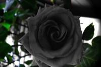 نادرترین گل رز دنیا / عکس