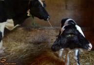 تولد گوساله 2 سر + عکس