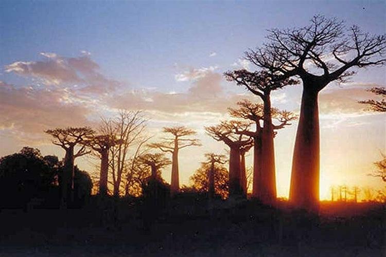 درختان غول آسای بائوباب در ناحیه مورونداوا در كشور ماداگاسكار.