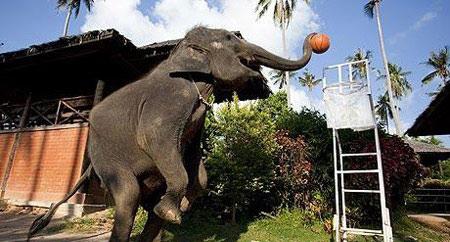 بسکتبال فیل ها