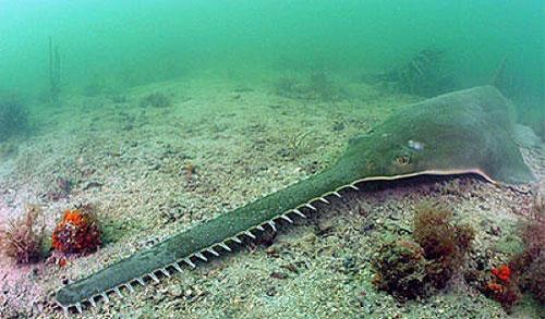 قاتلان دریا,Giant Sawfish
