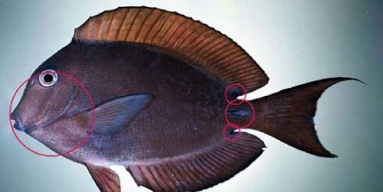 قاتلان دریا,Surgeonfish