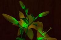 گیاه چراغ خواب تولید شد / عکس