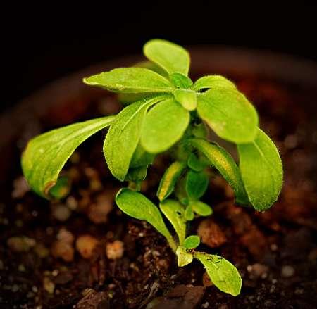 گیاهی با توانایی تولید نور