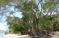 خطرناکترین درخت دنیا / عکس