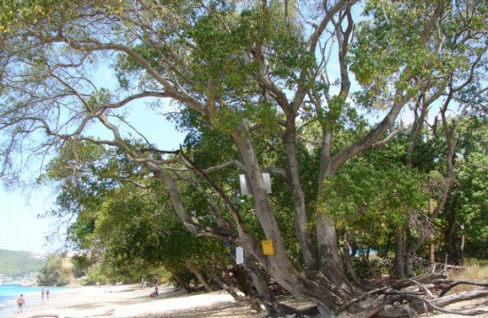 خطرناک ترین درخت دنیا +عکس