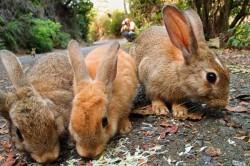 جزیره خرگوش ها در ژاپن / عکس