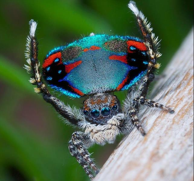 عنکبوتی شبیه به طاووس + عکس