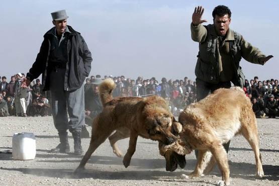 نبرد مرگبار سگ ها / عکس