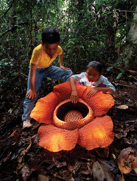 Rafflesia-arnoldii4