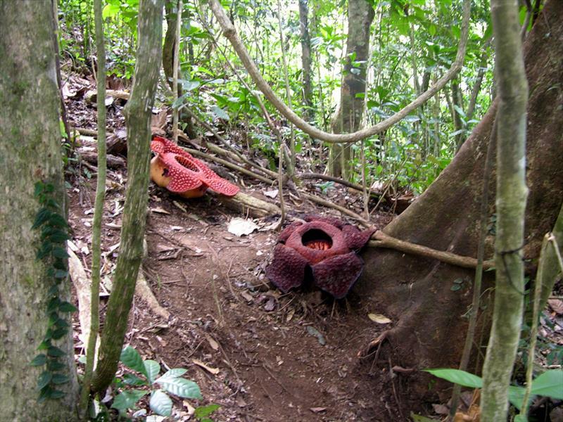 Rafflesia-arnoldii5