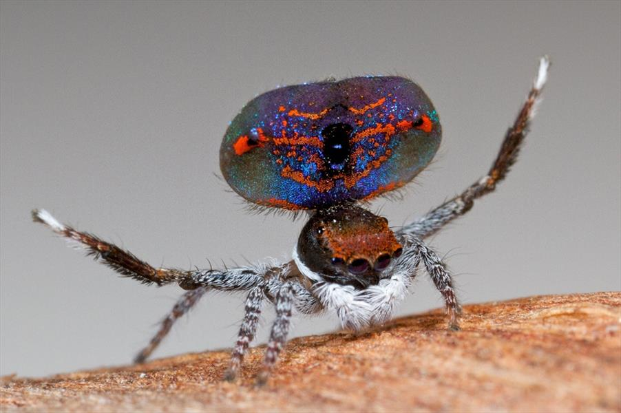Spider-likePeacock1