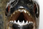 دندانهای که گاو را ریش ریش میکند