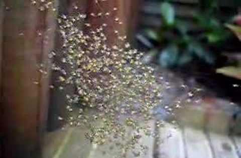 عنکبوت های چتر باز
