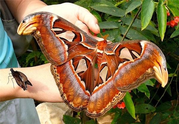 پروانه اطلس