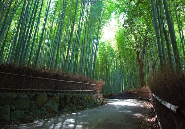 جنگل بامبو - درخت بامبو
