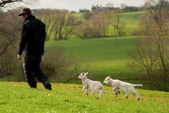 تولید گوسفند شش پا در انگلیس