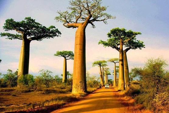 جاده بائوباب در منطقه منابه در غرب ماداگاسکار