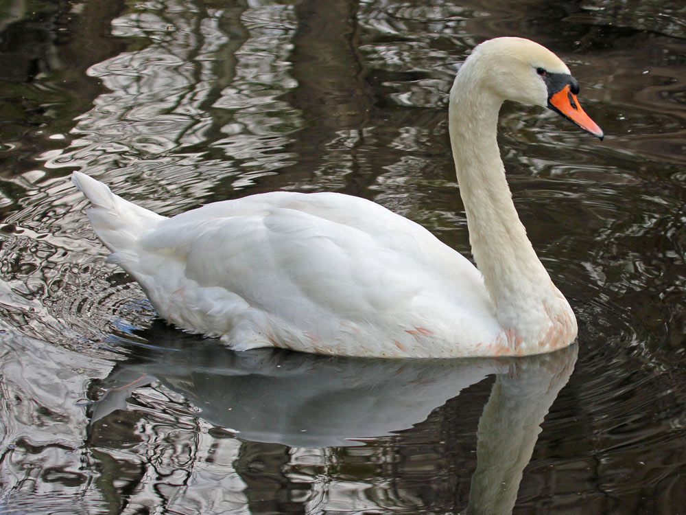 Swan 001 عکس های بسیار زیبا از قو های دوست داشتنی