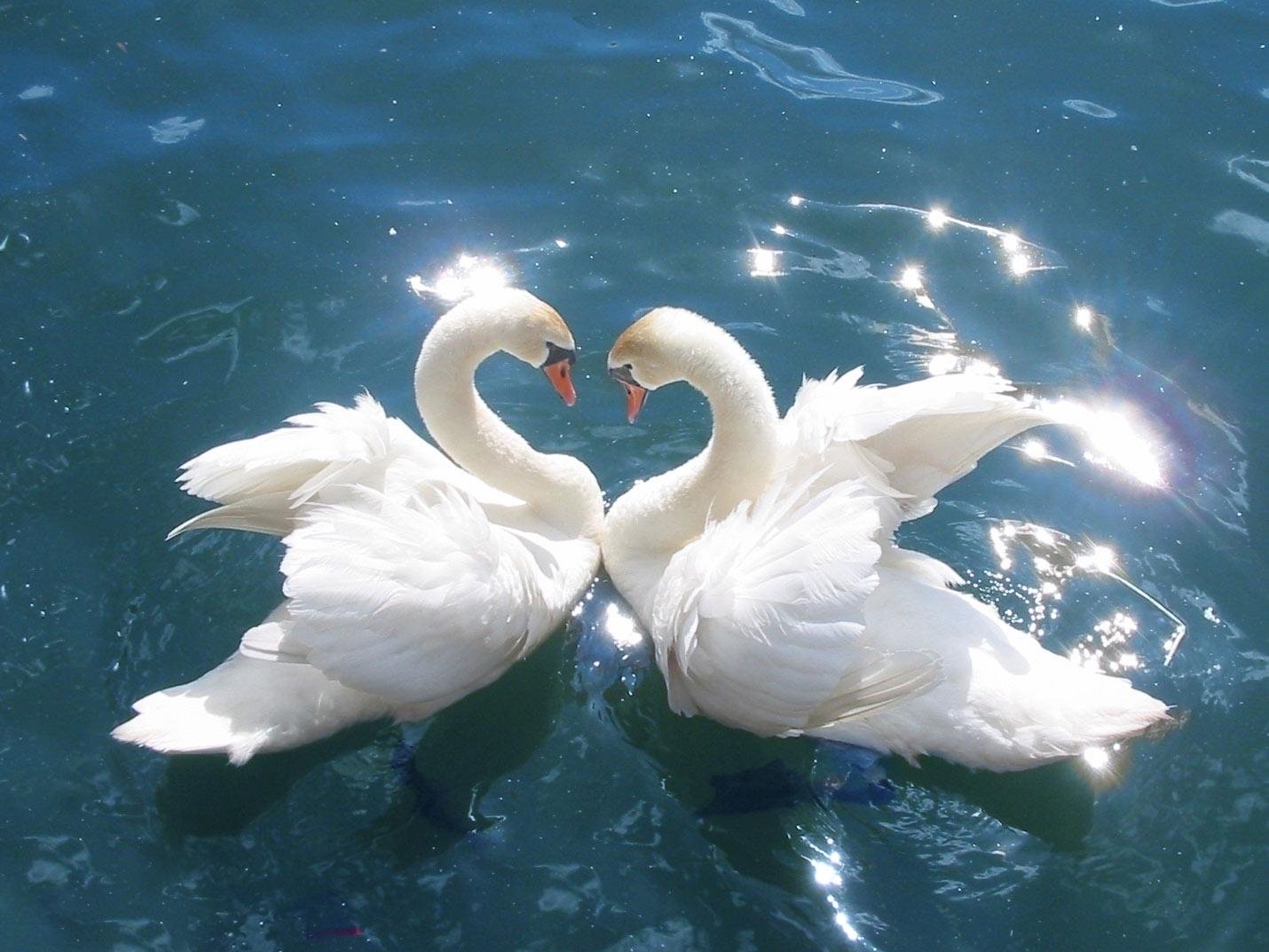Swan 002 عکس های بسیار زیبا از قو های دوست داشتنی