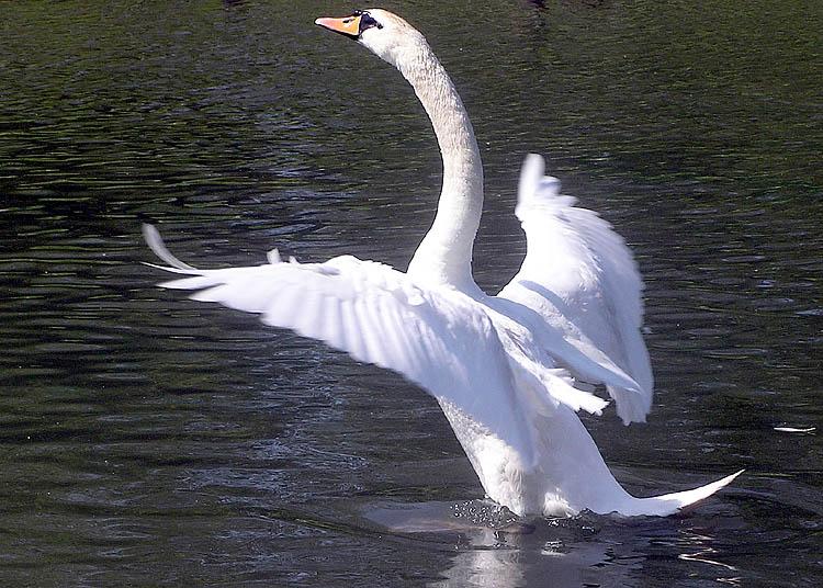Swan 008 عکس های بسیار زیبا از قو های دوست داشتنی