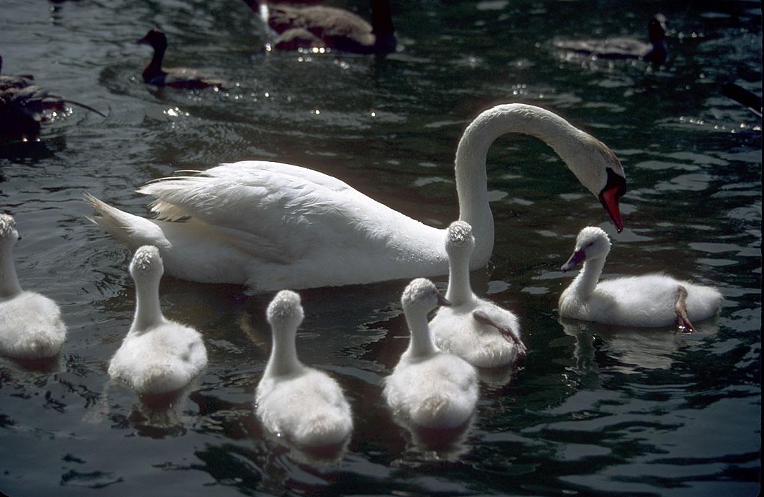 Swan 009 عکس های بسیار زیبا از قو های دوست داشتنی