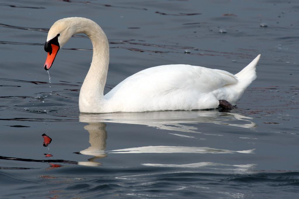Swan 013 عکس های بسیار زیبا از قو های دوست داشتنی