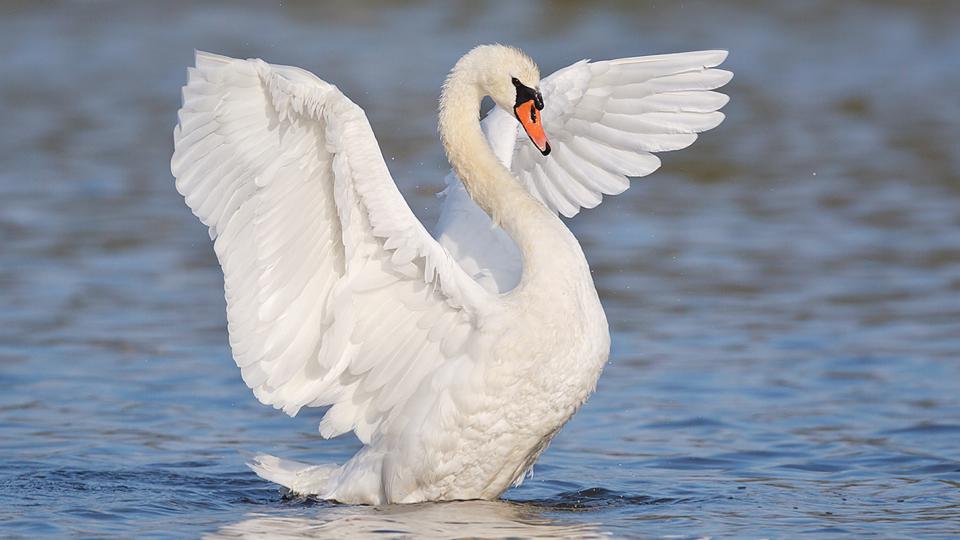 Swan 014 عکس های بسیار زیبا از قو های دوست داشتنی